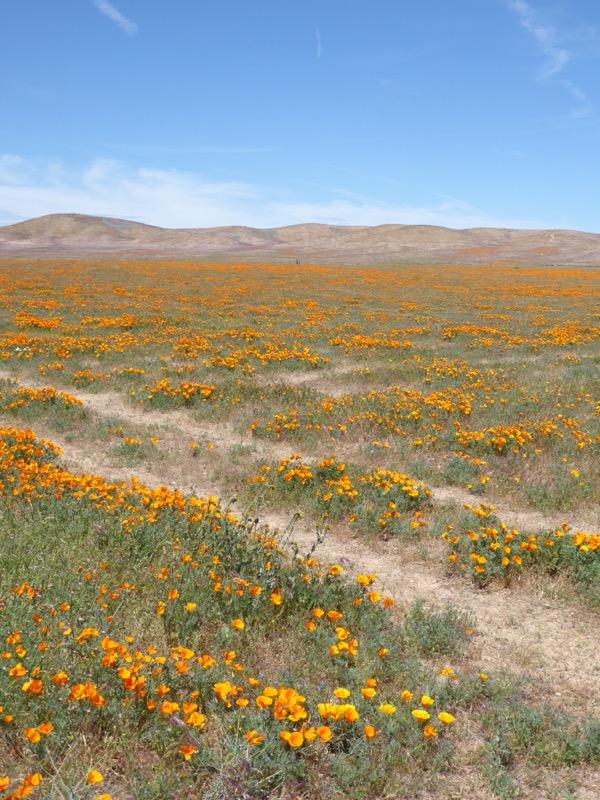 Poppy wildflowers Antelope Valley