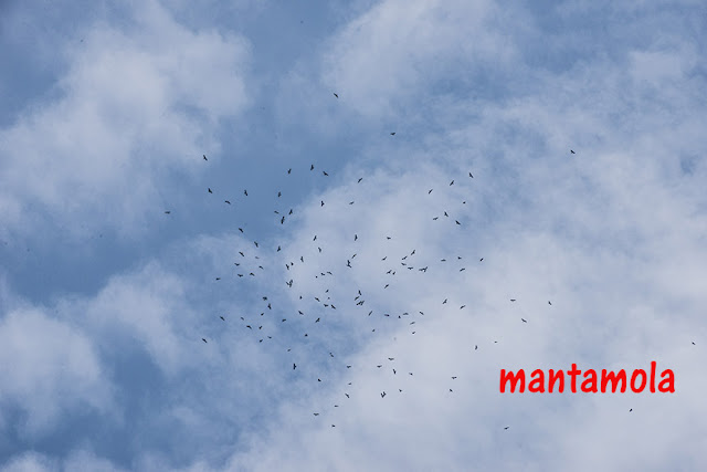 Flock of Black Baza