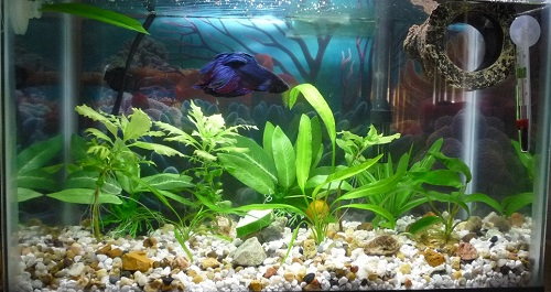 Betta waste is fertilizer for plants