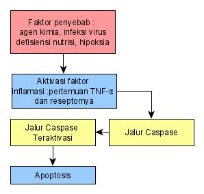 Pathway Apoptosis