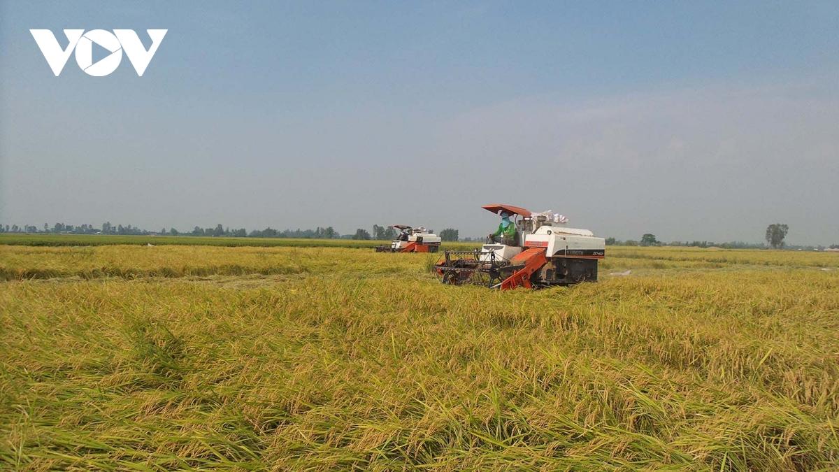 An Giang đang cao điểm thu hoạch lúa Hè-Thu.