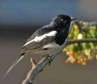 4 Penyebab Burung Kacer Yang Masih Bakalan Selalu Mati Mendadak