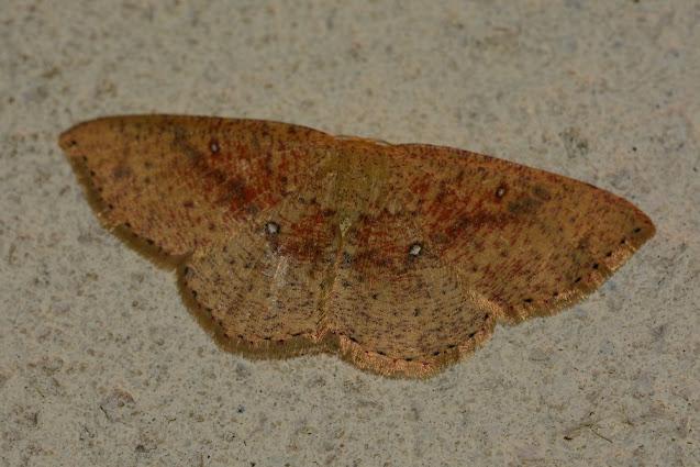 Cyclophora porata