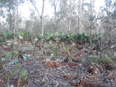 clearing palmettos