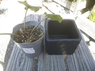 ツワブキ 鉢植え