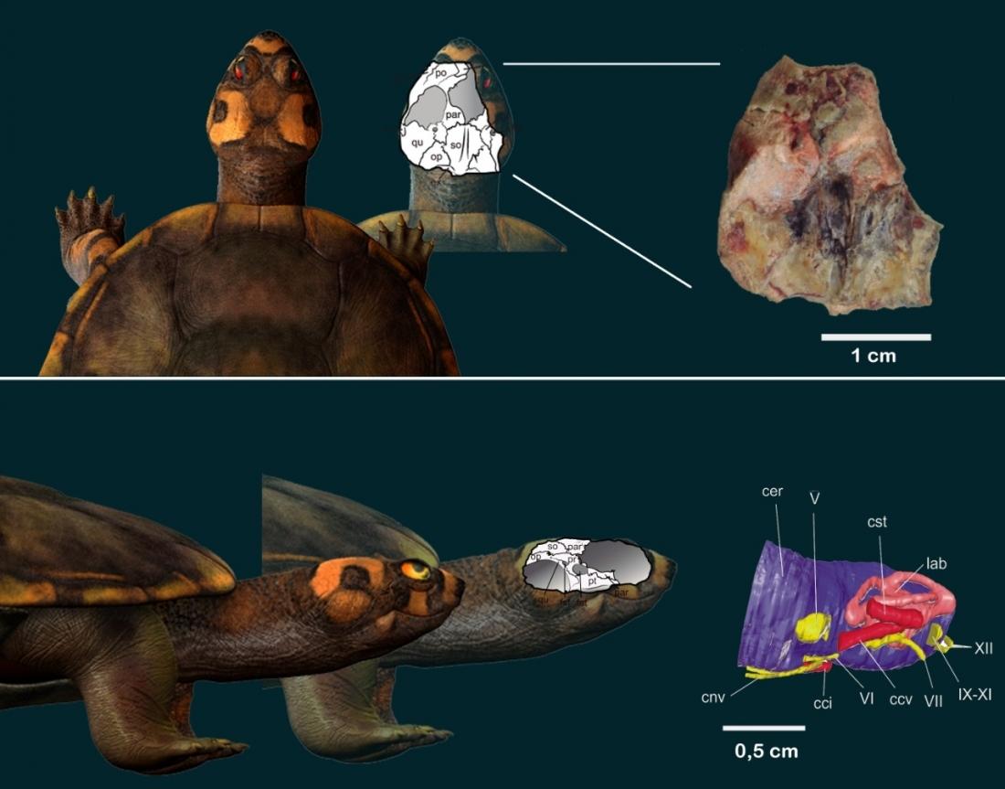 Fóssil descoberto em Uchoa revela mini-tartaruga que viveu com dinossauros