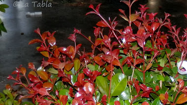Eugenia uniflora  'Etna Fire'