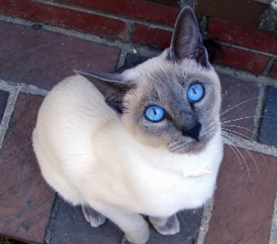 https://1.bp.blogspot.com/-04EwNTk3VB0/UKq7QhyqHGI/AAAAAAAAFbw/EYCefzZ83Bc/s1600/Siamese+cat,+Blue+Point.jpg