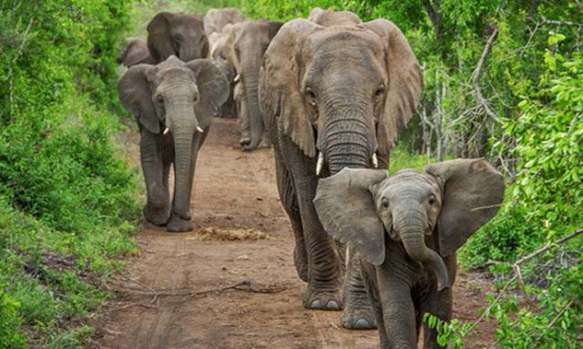 Soal Teror Gajah di Suoh, Direlokasi atau Konflik Terus Terjadi