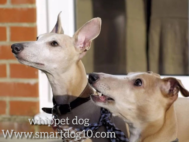 Are Whippets good pets