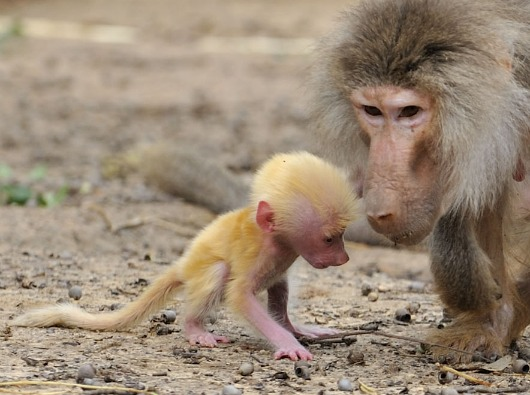 Baby Animals: Baboon infant 18