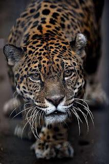 Mr. Leopard