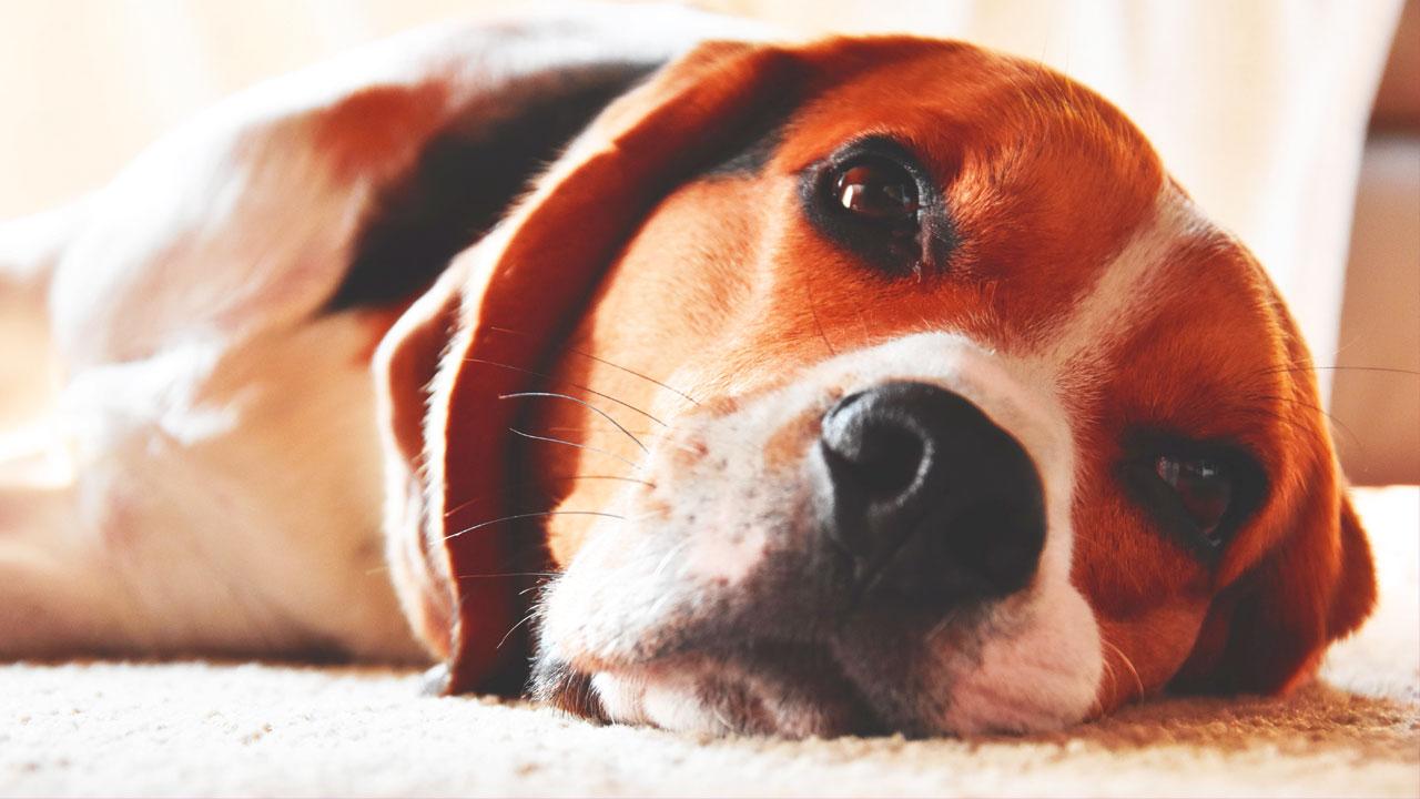 Beagle Breath