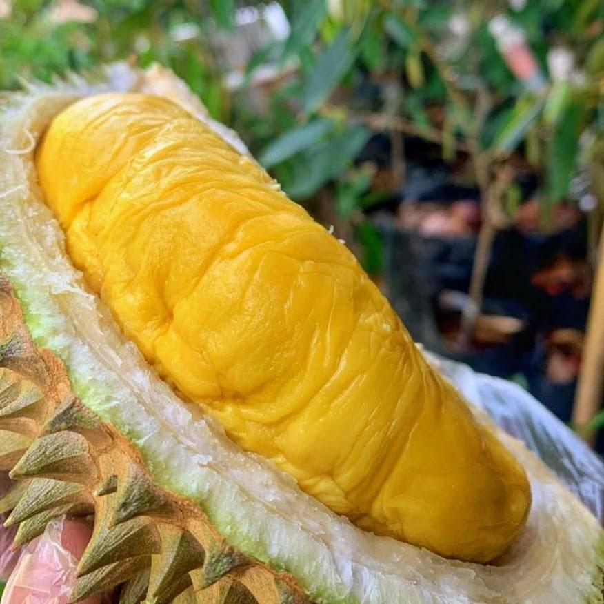 Bibit Durian Musangking Okulasi Murah Mataram