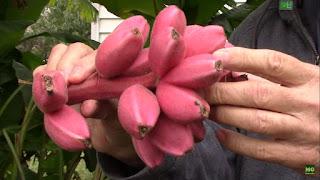pisang, pisang pink, musa velutina, pisang congkel langit