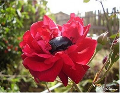 escaravelho rosa - Dance comigo até o fim do amor