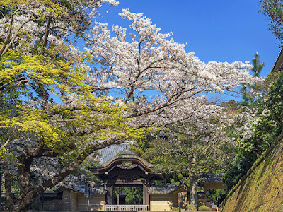 Someiyoshino sakura (Prunus × yedoensis) blossoms: Engaku-ji