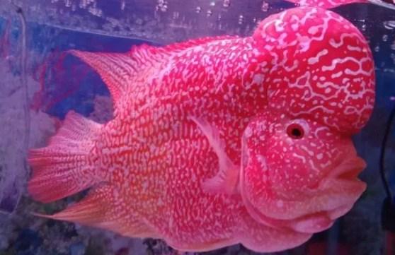 ikan hias louhan - Gambar Ikan Hias Cantik