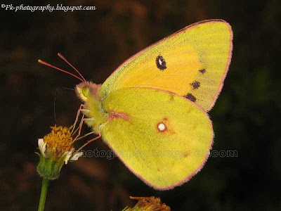 Clouded Yellow Butterfly Picture