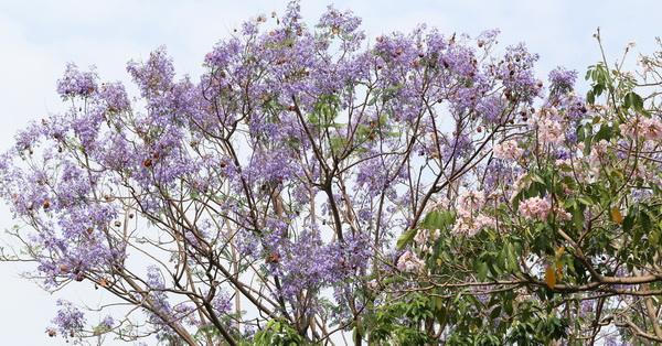 《台中.北屯》松勇公園和景美公園的藍花楹花開,藍紫色花毯也漂亮