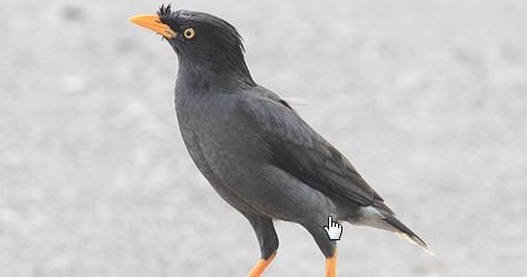 Kicau Burung Mania Memilih Burung Jalak Bakalan Secara Ombyokan