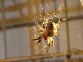هذا النوع ومن العنكبوت شكله غريب جد