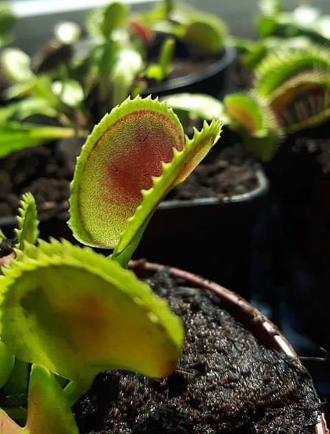 Rośliny owadożerne dla początkujących, czyli dlaczego w ogóle powstało coś takiego jak rośliny owadożerne? Po co to robią? Jak rośliny polują na owady? Jak rośliny owadożerne działają, łapią ofiary? Pułapki na owady. Gdzie występują rośliny mięsożerne? Jaką roślinę owadożerną wybrać? Rosiczka, dzbanecznik, kapturnica, muchołówka - co wybrać?