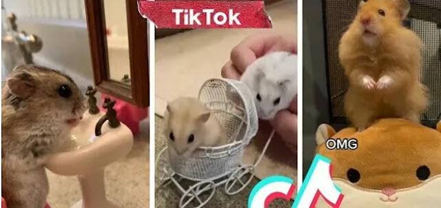 Hamster PP TikTok?