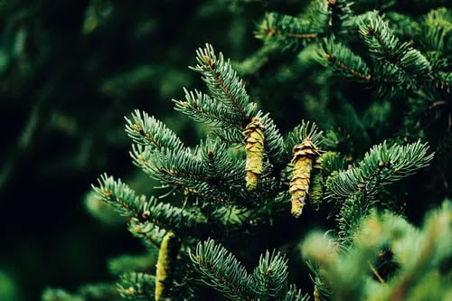 How to grow pine: the rules for growing lush plants both in pots and in the garden
