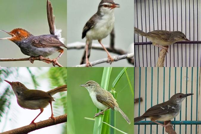 Jenis Burung Ciblek ( Perenjak )