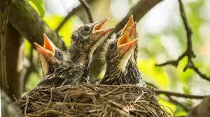 Pakan Burung Murai Batu Agar Cepat Bertelur