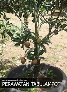 11 Tips merawat tanaman Tabulampot agar cepat berbuah