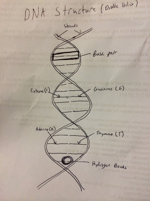 3. dna structure and function - blake's honors biology site dna structure diagram drawing dna damage diagram