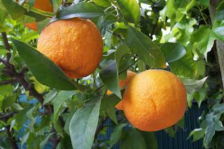 Bitter Orange, Synephrine