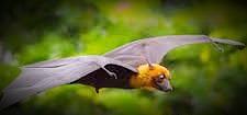 Bat coronavirus