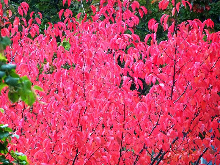 Det är faktiskt folk från hela Täby som vallfärdar till denna vackra körbärsträd.