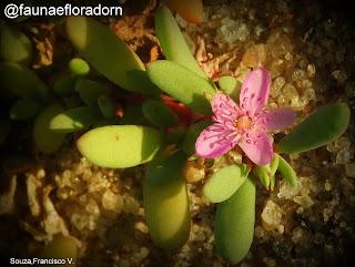 Beldroega-da-praia Sesuvium portulacastrum (L.) L.