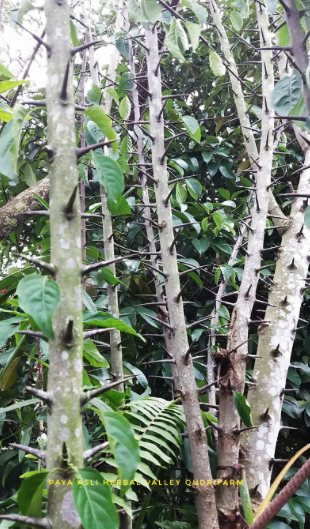 Pengalaman Sendiri Guna Pokok Duri Tambun Tahi