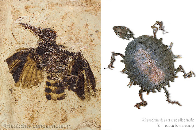 Fossils of Grube Messel Pit Hoopoe Turtle