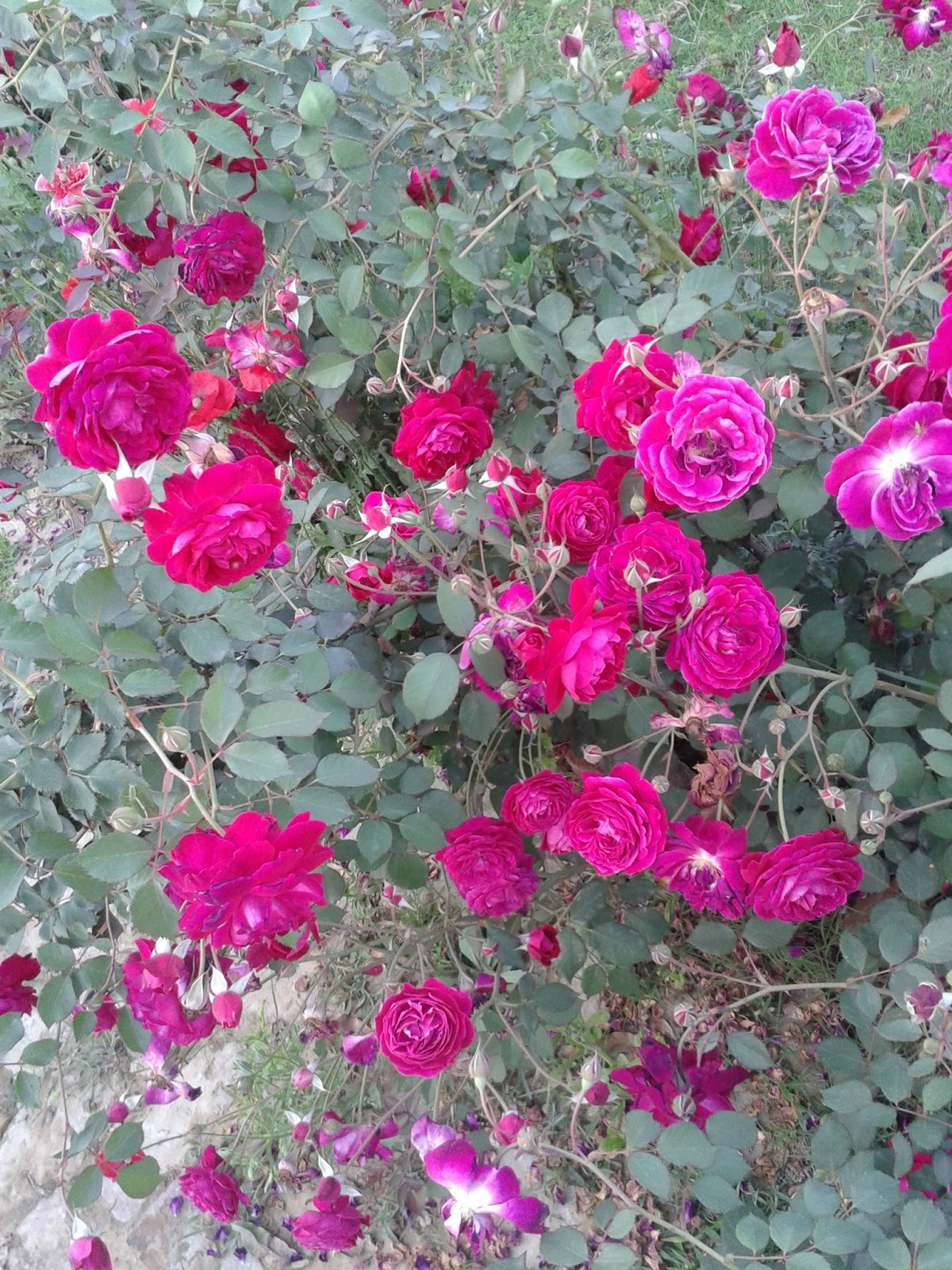 Pure Red Roses Desi Red Roses