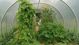 Potato plants in a polytunnel