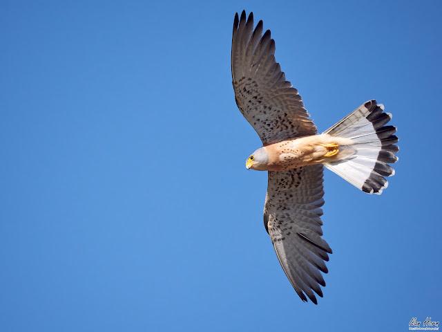 Common Kestrel Overhead