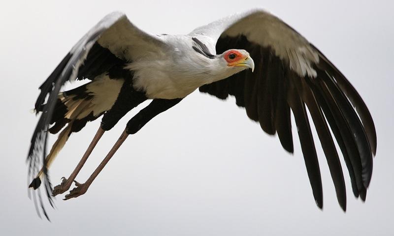 एक अद्भूत शिकारी पक्षी सेक्रेटरी पक्षी - Interesting Facts and Information about Secretary bird in Hindi