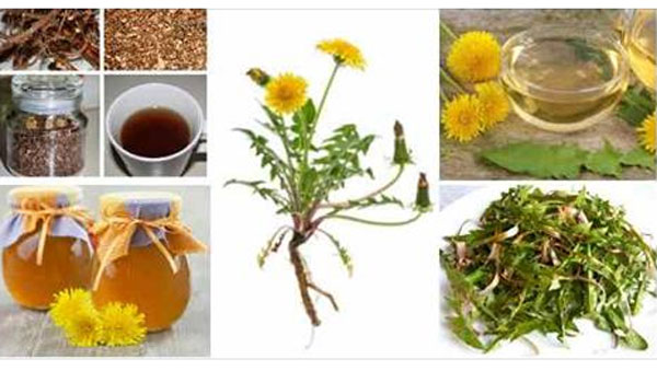 Dandelion Cures Cancer, Hepatitis, Liver, Kidneys, Stomach. Here is how it used!