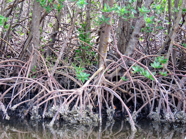 "Mangroves in J.N. ""Ding"" Darling National Wildlife Refuge on Sanibel Island, Florida"