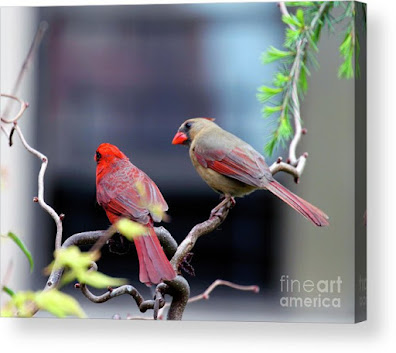 This is a screen shot of a photograph rendered on acrylic and available via Fine Art America. It features a couple of cardinals perched on a branch. The female (brownish) is on the right while the male (red) is on the left. Info re this print is @ https://fineartamerica.com/featured/cardinal-love-3-patricia-youngquist.html?product=acrylic-print