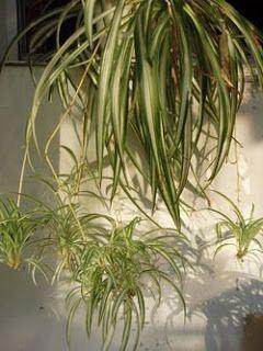 Maseta colgante con planta: lazo de amor