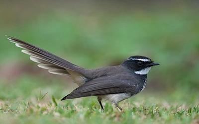 Download Bunyi Burung Sikatan Mp3 Untuk Pikat Dan Masteran