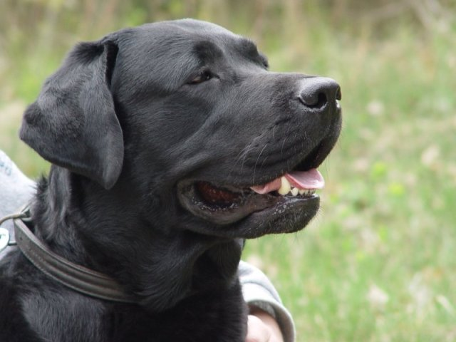 Most Beautiful Mixed Breed Dogs Top 7 Black Labrador