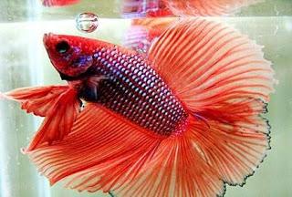 INILAH 5 Ikan Cupang termahal di Dunia - petani inovatif
